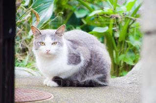 猫ちゃんの写真・画像素材[2737968]