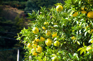 柚子の写真・画像素材[2738002]