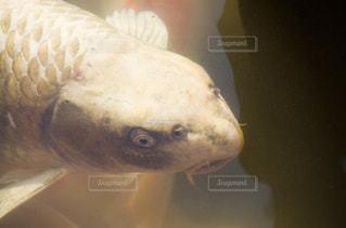 鯉の写真・画像素材[2790267]