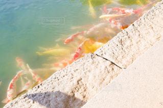 鯉の写真・画像素材[2790273]