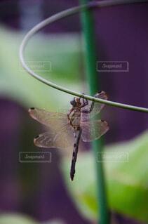蜻蛉の写真・画像素材[3723861]