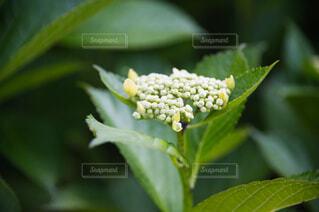 紫陽花の写真・画像素材[4462010]