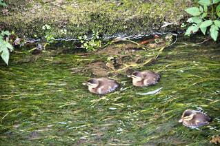 鴨の写真・画像素材[4519555]