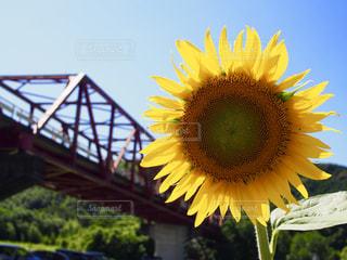 ひまわりと橋の写真・画像素材[1348635]