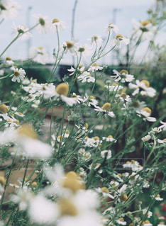 風に揺れての写真・画像素材[1311631]