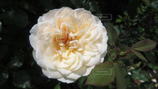 花の写真・画像素材[1315132]