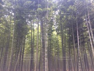 竹林の写真・画像素材[1313313]