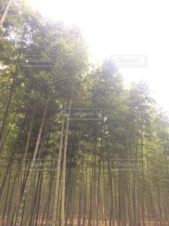 竹林の写真・画像素材[1313315]