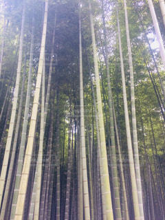 竹林の写真・画像素材[1313320]