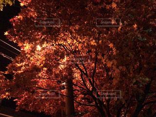 夜の紅葉の写真・画像素材[1312881]