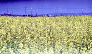 背の高い草のフィールドの写真・画像素材[1313711]