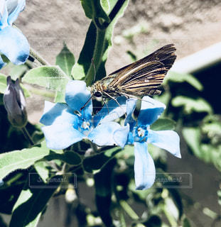 華の蜜を一生懸命吸って生きている季節外れの蝶の写真・画像素材[1496359]