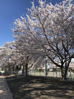 桜の写真・画像素材[1313158]