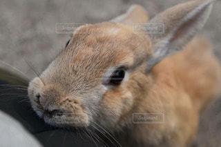 ウサギの写真・画像素材[73732]