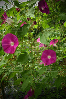 庭の朝顔達の写真・画像素材[1373869]