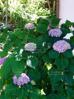 紫陽花の写真・画像素材[1374512]