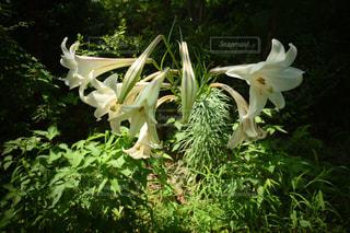 百合の花の写真・画像素材[1377744]