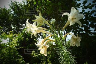 百合の花の写真・画像素材[1377745]