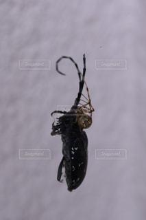 蜘蛛にやられるカミキリムシの写真・画像素材[1391148]
