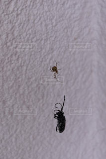蜘蛛の巣にかかったカミキリムシの写真・画像素材[1391149]