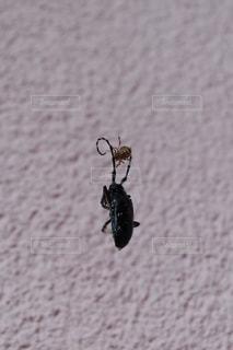 蜘蛛の巣にかかったカミキリムシの写真・画像素材[1391157]