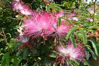 ネムノキの花の写真・画像素材[1396019]