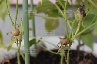 朝顔の種クローズアップの写真・画像素材[1396039]