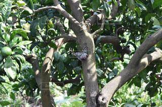 みかんの木にとまるアカボシゴマダラの写真・画像素材[1396246]