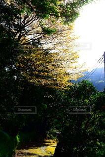 山の桜です。の写真・画像素材[4289197]