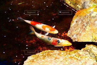泳ぐ錦鯉達の写真・画像素材[4307698]