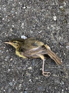 小鳥の死の写真・画像素材[1329096]