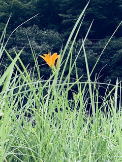 野萱草の写真・画像素材[1405738]