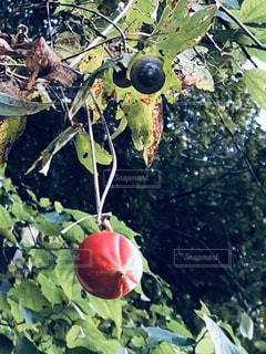カラスウリとカタツムリの写真・画像素材[1574839]