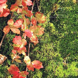苔と蔦の写真・画像素材[1609115]