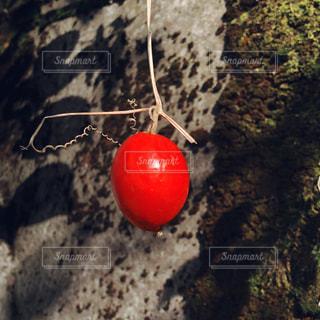 カラスウリの写真・画像素材[1609145]