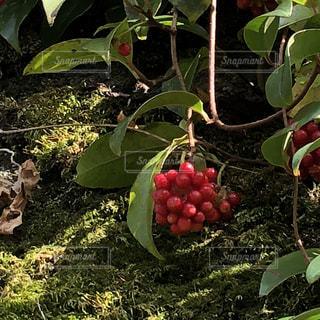 ビナンカズラ「サネカズラ」の写真・画像素材[1609147]