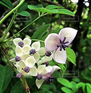 アケビの花の写真・画像素材[1878302]