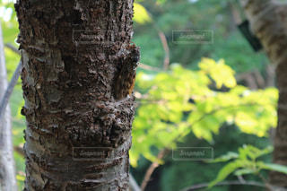 large brown cicadaの写真・画像素材[1472784]