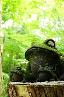 切り株の上に座っているカエルの写真・画像素材[1316275]