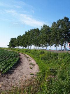 美瑛の木々と畦道の写真・画像素材[1316449]