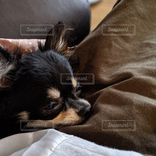 眠い犬の写真・画像素材[2764710]
