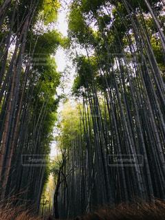 嵐山竹林の写真・画像素材[1317679]