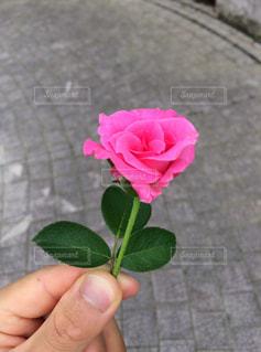ピンクのバラの写真・画像素材[1373455]