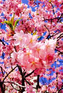木にピンクの花のグループの写真・画像素材[1403065]