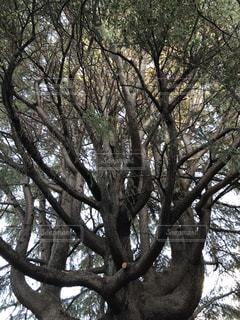 大きな木の写真・画像素材[1557662]
