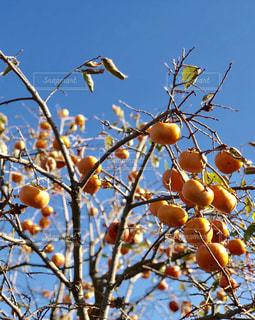 木からぶら下がってりんごの写真・画像素材[1564113]
