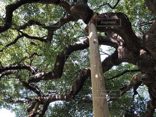大きな木の写真・画像素材[1564404]