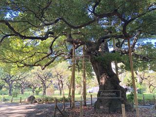木から葉キリン食べるの写真・画像素材[1564406]