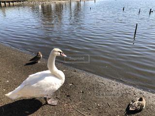 水の体の横に白鳥の写真・画像素材[1588382]