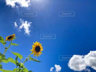 夏空とひまわりの写真・画像素材[2315175]